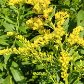 Pollinators making good use of goldenrods