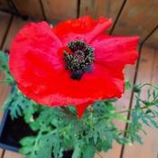 poppy growing