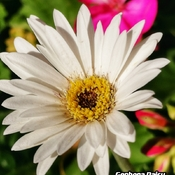 August 3 2021 26C Happy Summer:) pretty white Gerbera Daisy in Thornhill