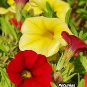 August 3 2021 26C Beautiful Summer:) Vibrant Petunias in Thornhill