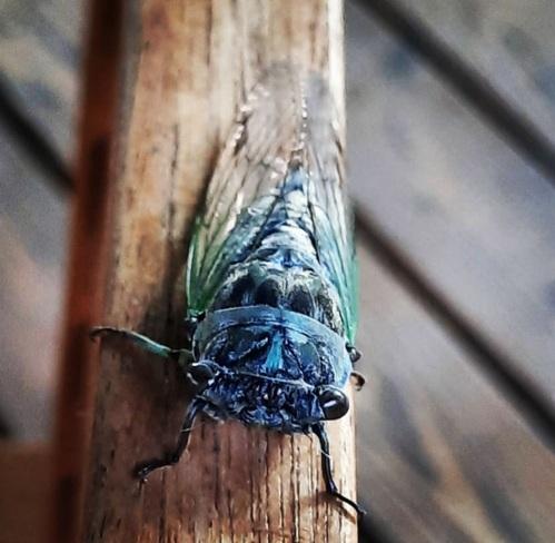 Cicada Niagara Falls, ON