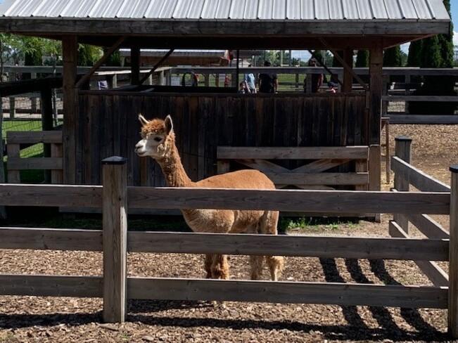 Alpaca's Chinguacousy Park, Bramalea Road, Brampton, ON