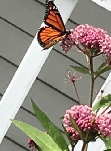 Monarch butterfly Coldbrook, NS