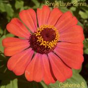 Single Layer Zinnia