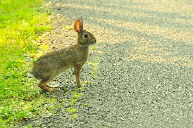 Tout jeune lapin Gatineau, QC