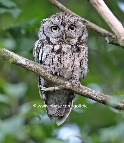 Adult Screech Owl Ottawa, ON