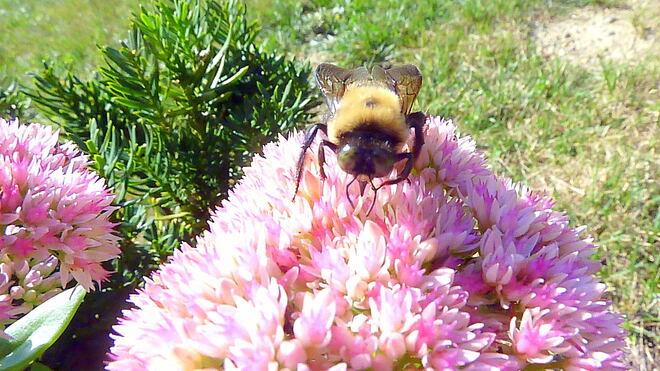 Green Eyed Carpenter Bee? Toronto, ON