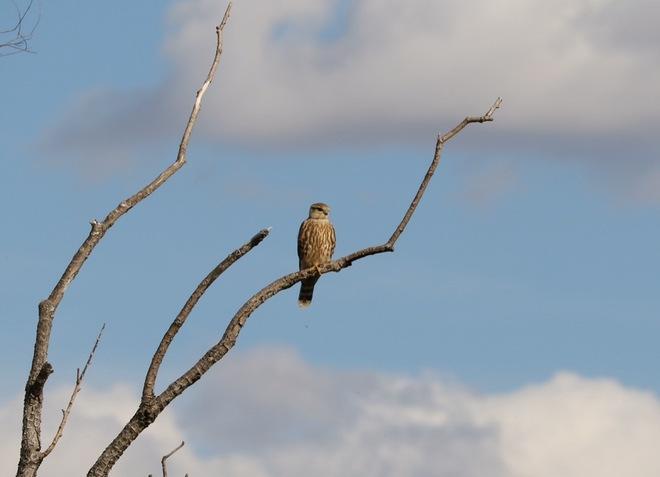 Nice Birds Kindersley, SK