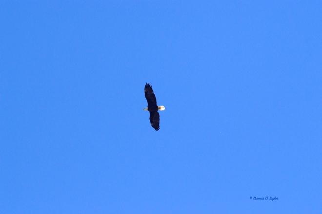 Eagle Soaring Over BellweatherKennels Leduc, AB
