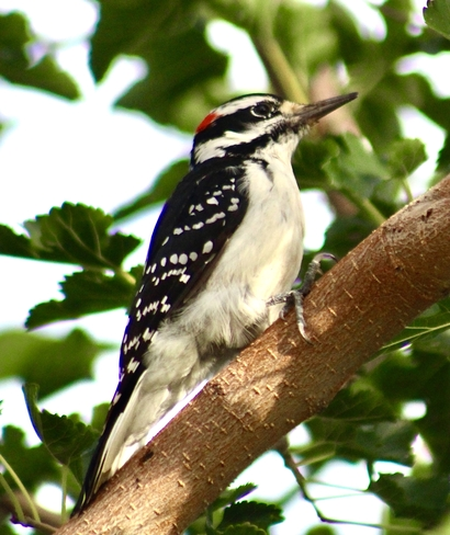 Downy Woodpecker Etobicoke, Ontario, CA
