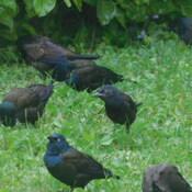 Blackbirds (Grackles)