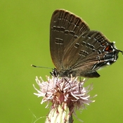 Tiny Banded Hairstreak Butterfly