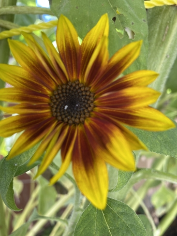 Red sunflower Coquitlam, British Columbia, CA