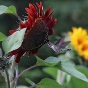 Hummingbird in sunflowers