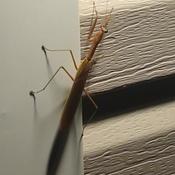 "Nice visitor at my door this evening. Praying Mantis ""Hello"""