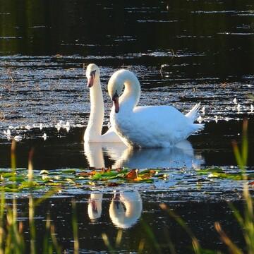 Mute Swans in Ingleside Ontario