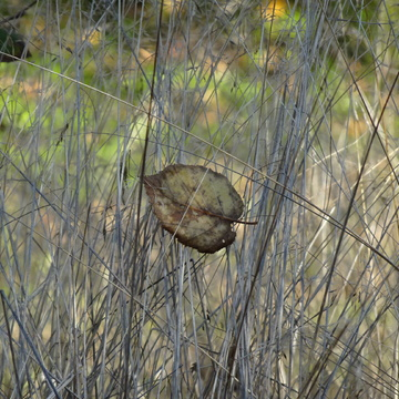 Fallen Leaf In Tall Grasses
