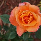 Unusual Rose Bush.