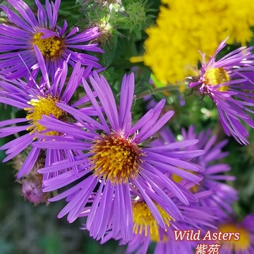 Sept 19 2021 21C Beautiful Sunday!:) Pretty wild purple Asters! Thornhill