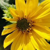 Sept 19 2021 21C Beautiful Sunday!:) Delightful wild Sunroot! Thornhill