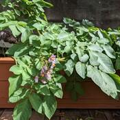 sweet potatoes plant