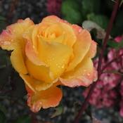 Raindrops On Roses!!!