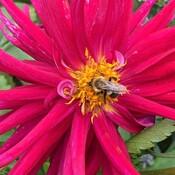 Bees and dahila