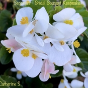 White Begonias-Bridal Bouquet Keepsake:)