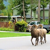 Bighorn Sheep Patrolling the streets of Radium
