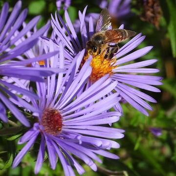 Honey bee on Wild Asters