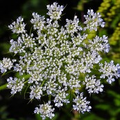 Queen Annes Lace flower