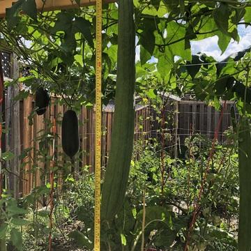 Luffa/Loofah in my vegetable garden
