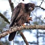 2021-09-19 - Immature Eagle in Goldstream Provincial Park