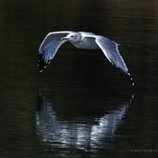 2021-09-19 - Beautiful Short-billed gull at Esquimalt Lagoon