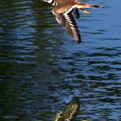 2021-09-16 - Killdeer, floating by, over Esquimalt Lagoon