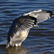 2021-09-15 - Herring Gull, with a big stretch, in Esquimalt Lagoon