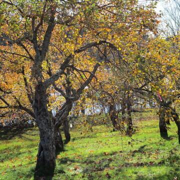 arbres d:or