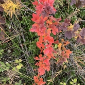 Fall Gooseberry