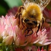 Busy Bee still gathering nectar