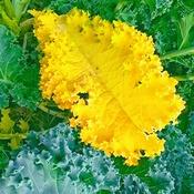 Yellow kale leaf