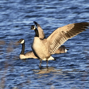 The Majestic Canada Goose