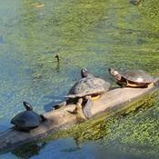 Sun Tanning Turtles