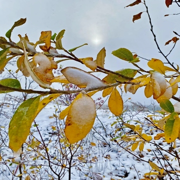 Fresh snow on autumn leaves