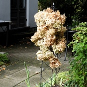 Tower of Dried Hydrangea Flowers