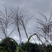 Grass Seedheads Against Twilight Sky