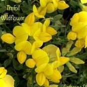 Trefoil Wildflower