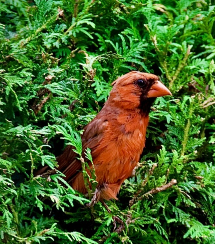 Cardinal and cedars. K1c6v9