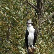 Blue Heron and Osprey