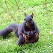 Mama Squirrel Bulks Up