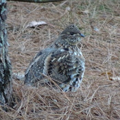 Partridge Sighting